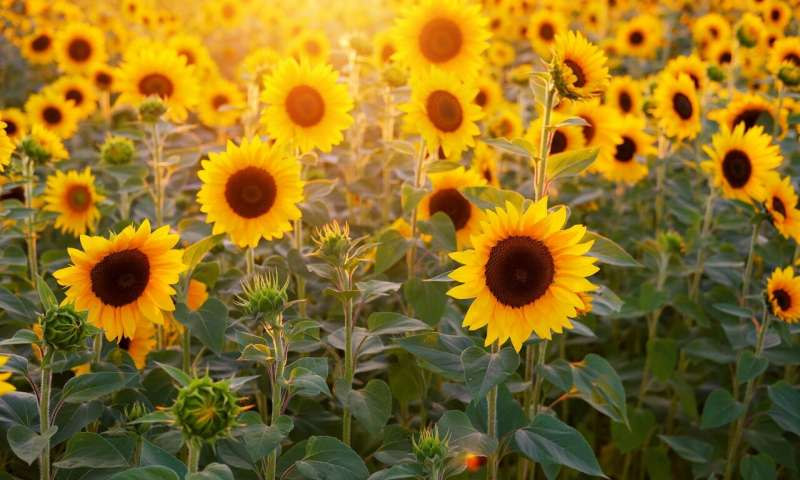 Nature at Home: Sunflowers