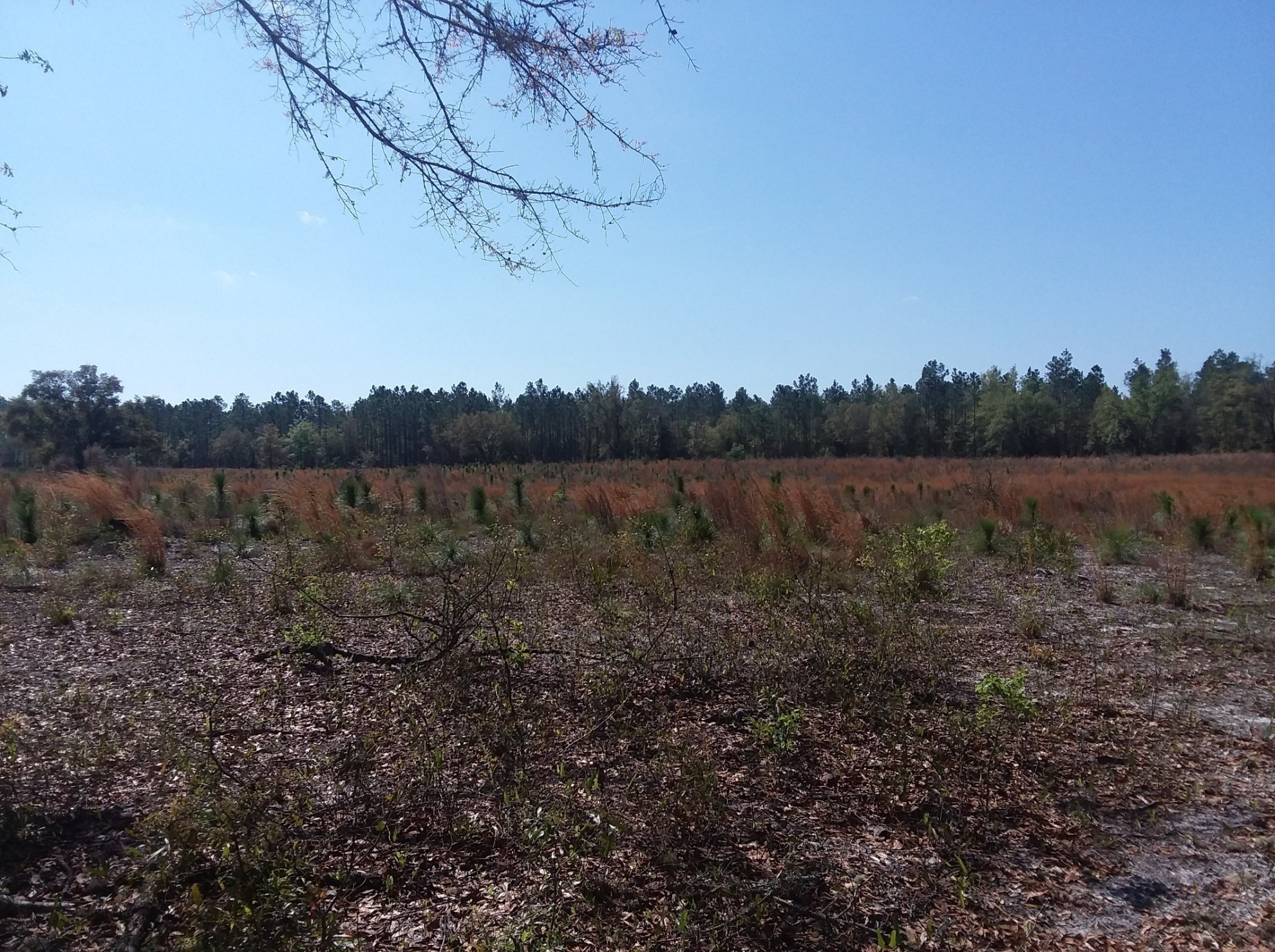 Chronology of Longleaf Pine Restoration on a North Florida Site