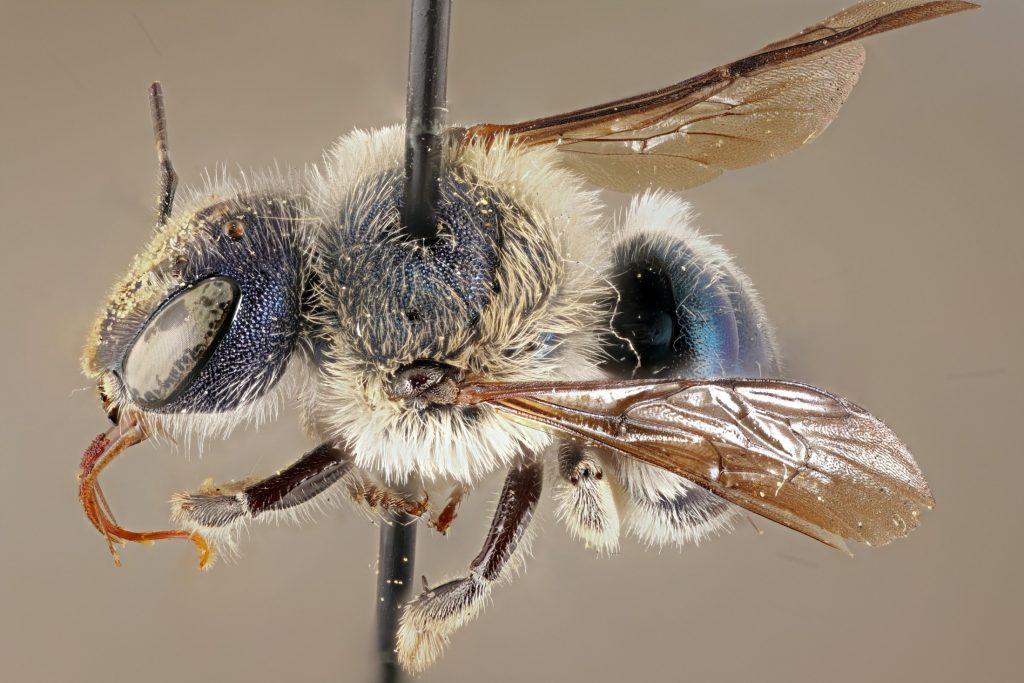 A Rare Bee
