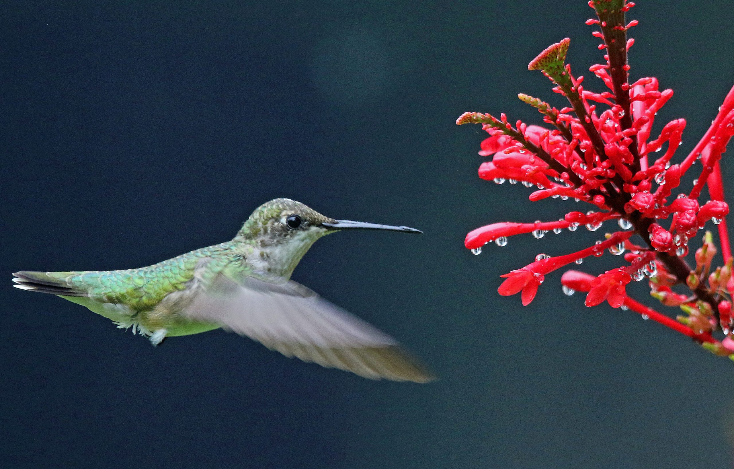 Hummingbirds on the Move