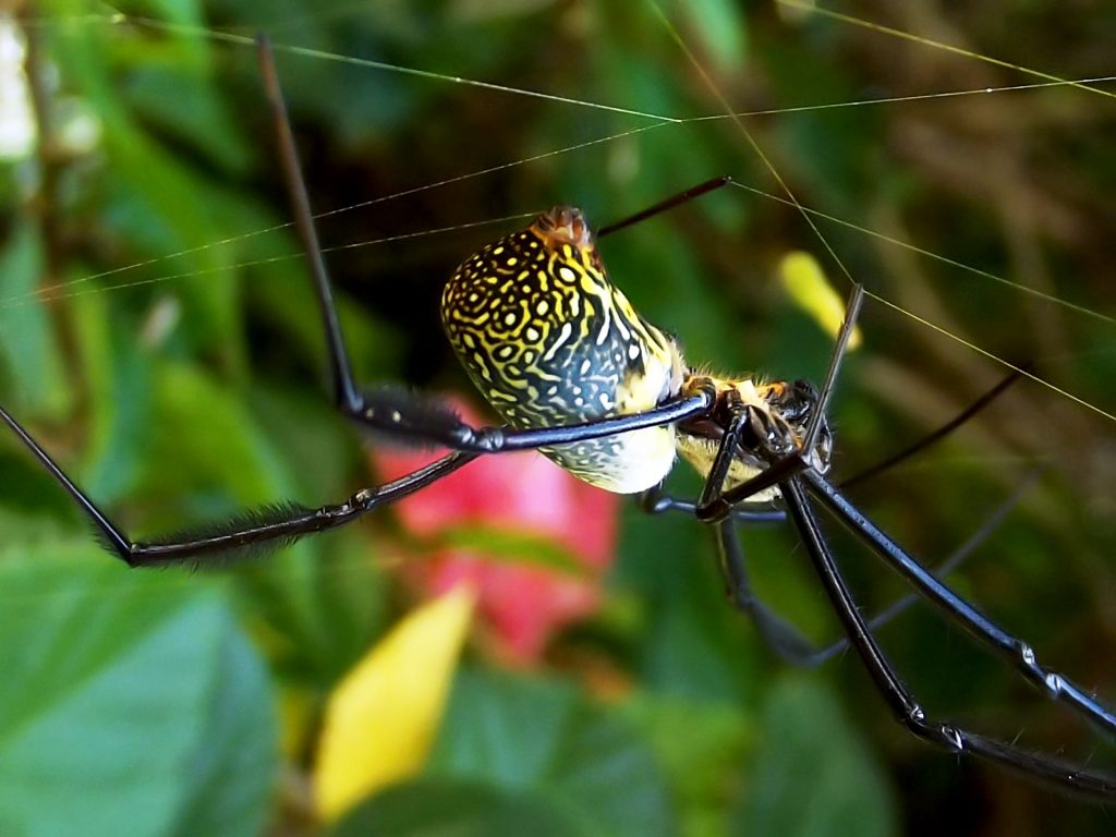 Golden Silk Spider by Sophia Nel