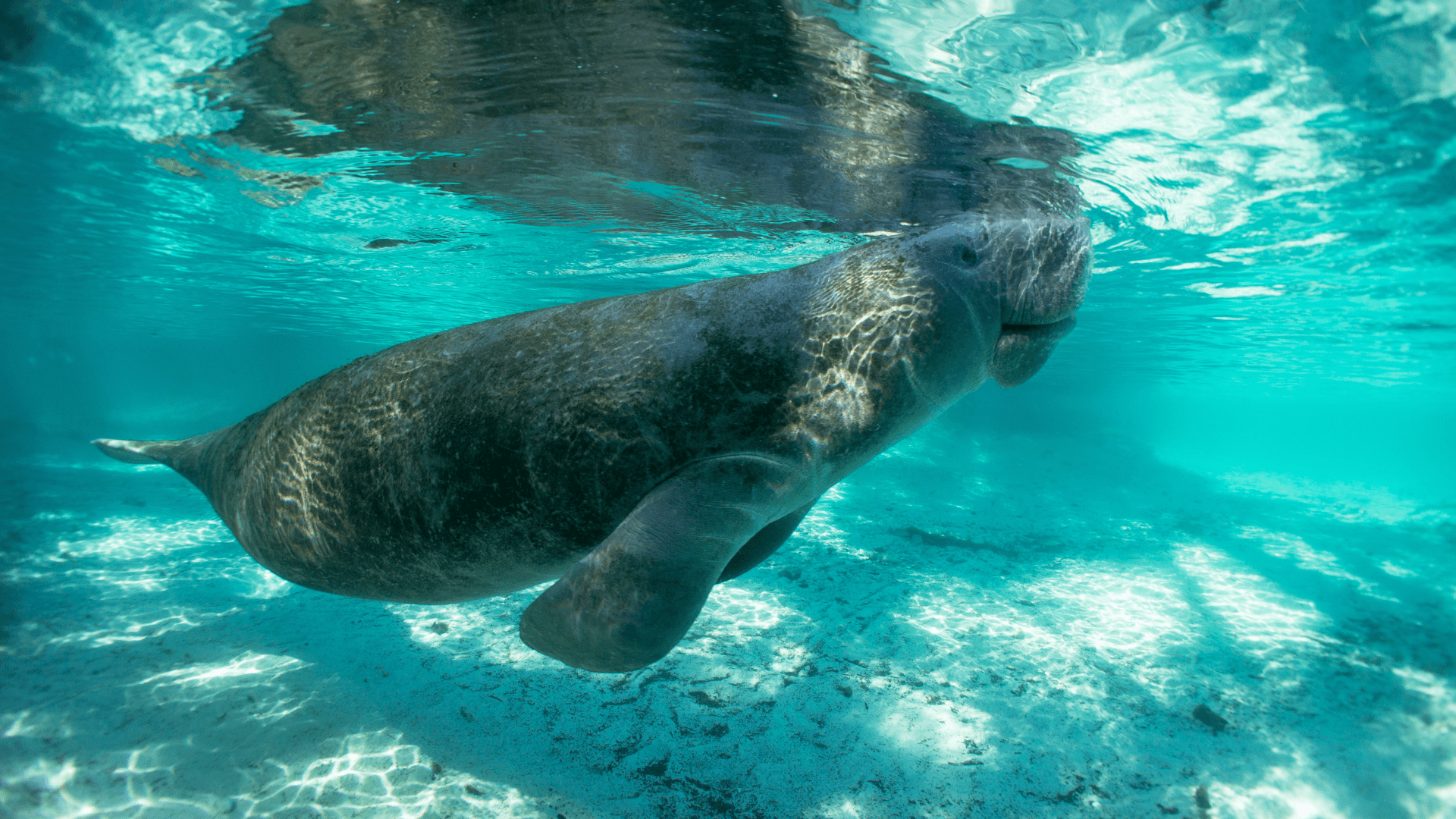 Our Beloved Manatees are Starving
